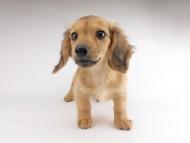 シエラcs & たけるの子犬 イエロー(クリーム) 男の子(2)