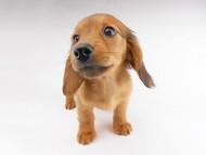 シエラcs & たけるの子犬 レッド 女の子