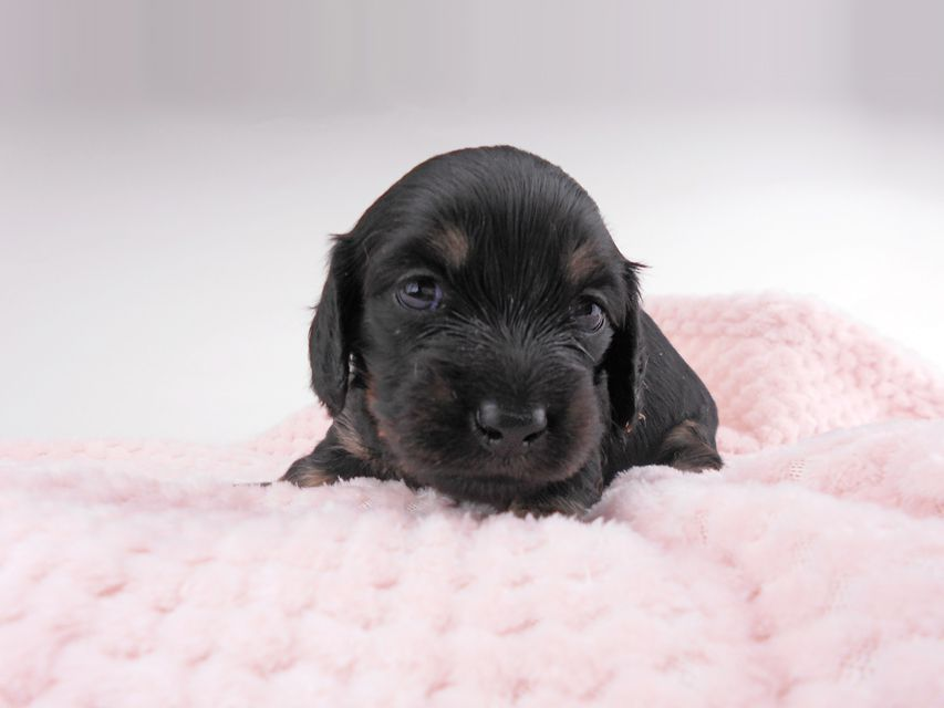 カニンヘンダックスフンド コトhp & ブルースの子犬 ブラックイエロー(ブラッククリーム) 女の子 お写真初登場