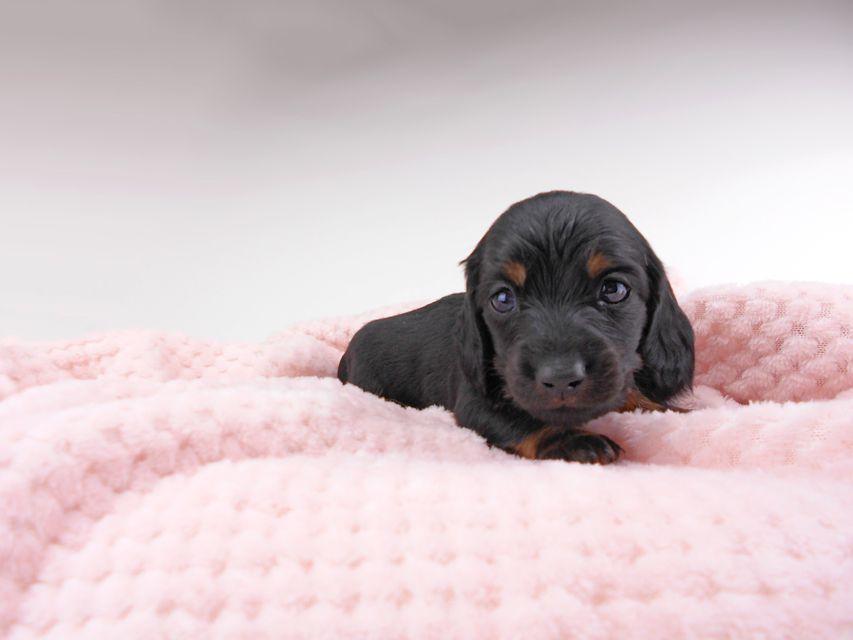 ミニチュアダックスフンド ジャジー & ジムの子犬 ブラタン 男の子(1) お写真初登場