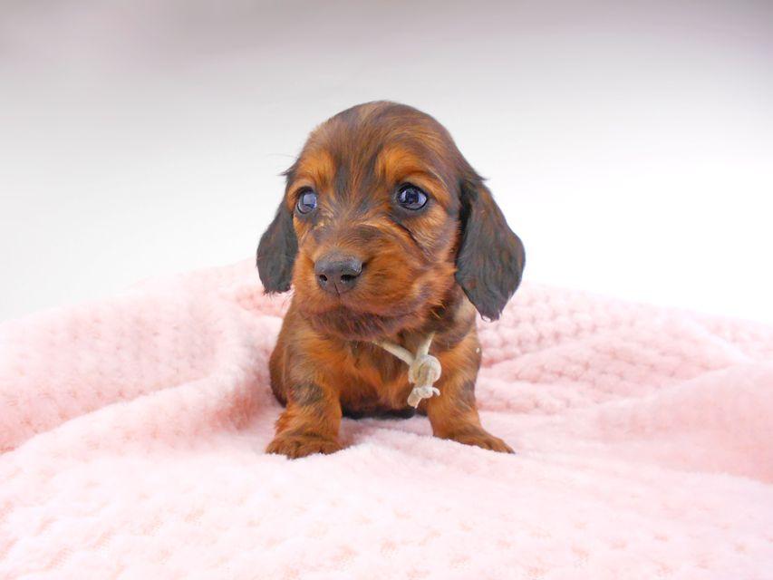 ミニチュアダックスフンド ジャジー & ジムの子犬 レッド 男の子(1) お写真初登場