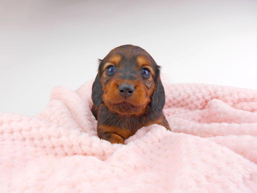 ミニチュアダックスフンド ジャジー & ジムの子犬 レッド 男の子(2) お写真初登場