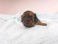チャーム & ブルースの子犬 イエロー(クリーム) 男の子(1) お写真初登場