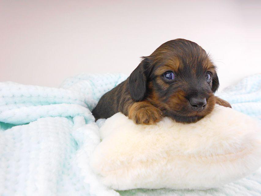 カニンヘンダックスフンド チャーム & ブルースの子犬 イエロー(クリーム) 男の子(1) お写真初登場