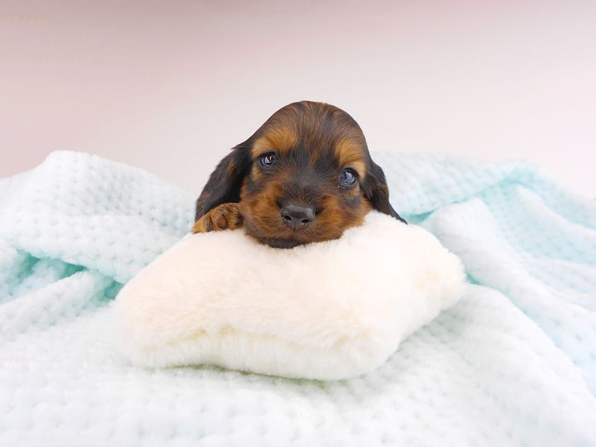 カニンヘンダックスフンド チャーム & ブルースの子犬 イエロー(クリーム) 男の子(2) お写真初登場