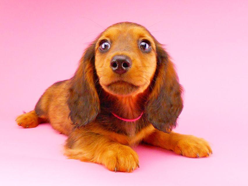 ミニチュアダックスフンド ジャジー & ジムの子犬 レッド 男の子(2)