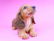 サリーアン & ジムの子犬 レッド 男の子(2)