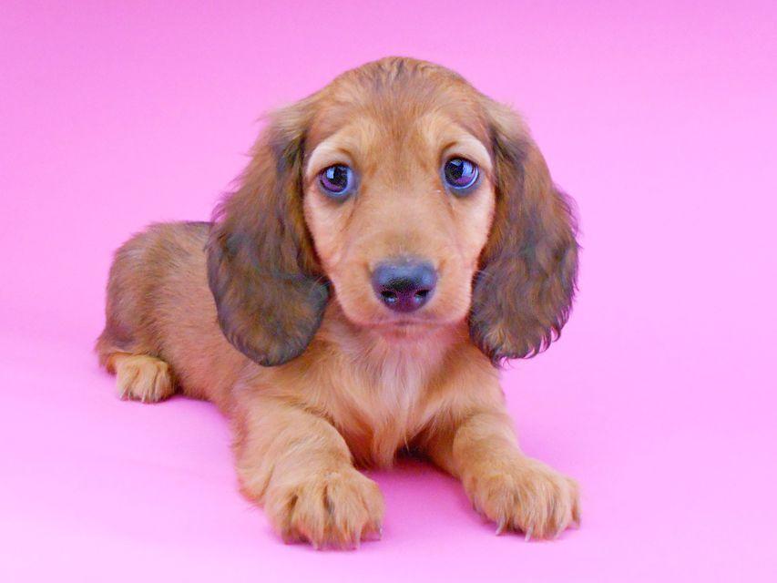 ミニチュアダックスフンド サリーアン & ジムの子犬 レッド 男の子(2)