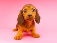 サリーアン & ジムの子犬 レッド 女の子