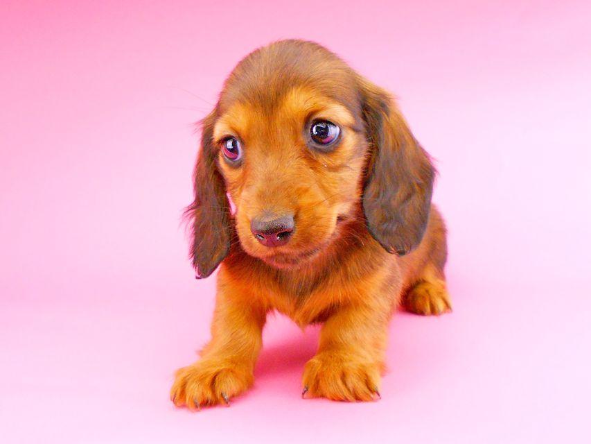 ミニチュアダックスフンド サリーアン & ジムの子犬 レッド 女の子