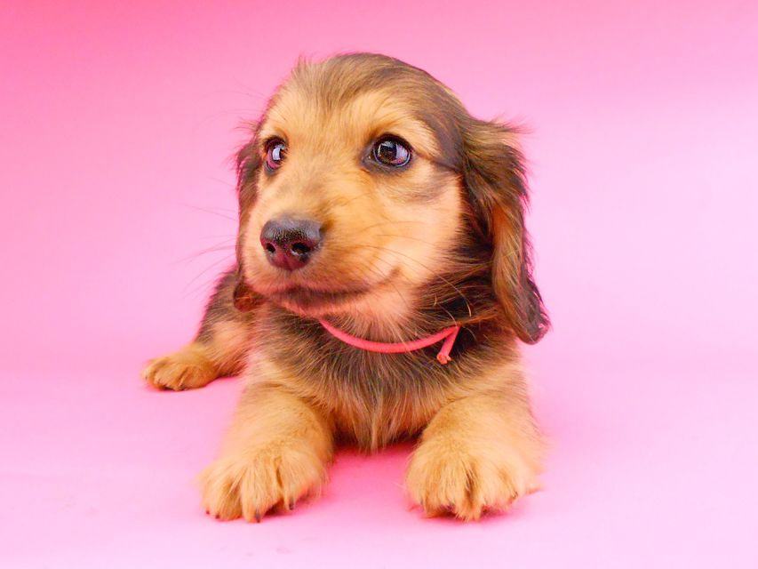 カニンヘンダックスフンド ひなプリhp & オスカルの子犬 イエロー(クリーム) 女の子