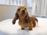 サリーアン & ジムの子犬 レッド 男の子(1)