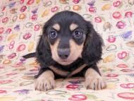 アビスmt & バロンmtの子犬 ブラックイエロー(ブラッククリーム) 男の子 お写真初登場