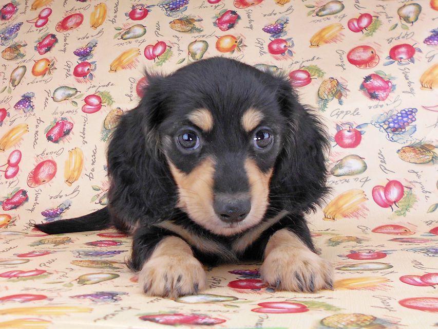 カニンヘンダックスフンド アビスmt& バロンmtの子犬 ブラックイエロー(ブラッククリーム) 男の子 お写真初登場