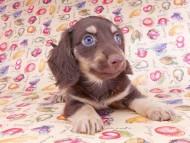 アビスmt & バロンmtの子犬 チョコイエロー(チョコクリーム) 男の子 お写真初登場