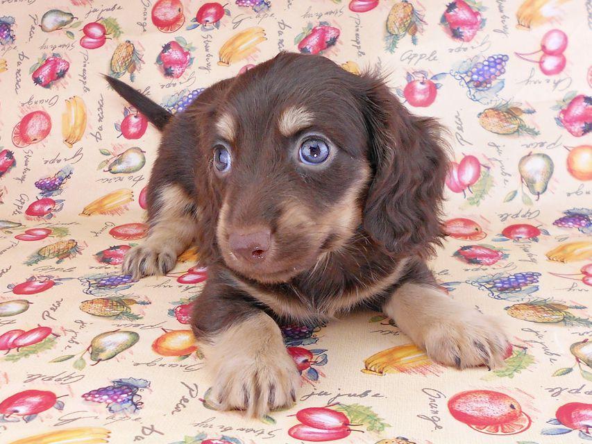 カニンヘンダックスフンド アビスmt& バロンmtの子犬 チョコイエロー(チョコクリーム) 男の子 お写真初登場
