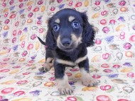 アビスmt & バロンmtの子犬 ブラックイエロー(ブラッククリーム) 女の子 お写真初登場