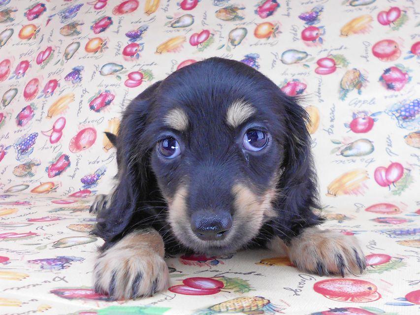 カニンヘンダックスフンド アビスmt& バロンmtの子犬 ブラックイエロー(ブラッククリーム) 女の子 お写真初登場