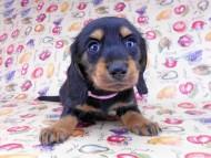 ルースmt & バロンmtの子犬 ブラックタン 女の子(1) お写真初登場