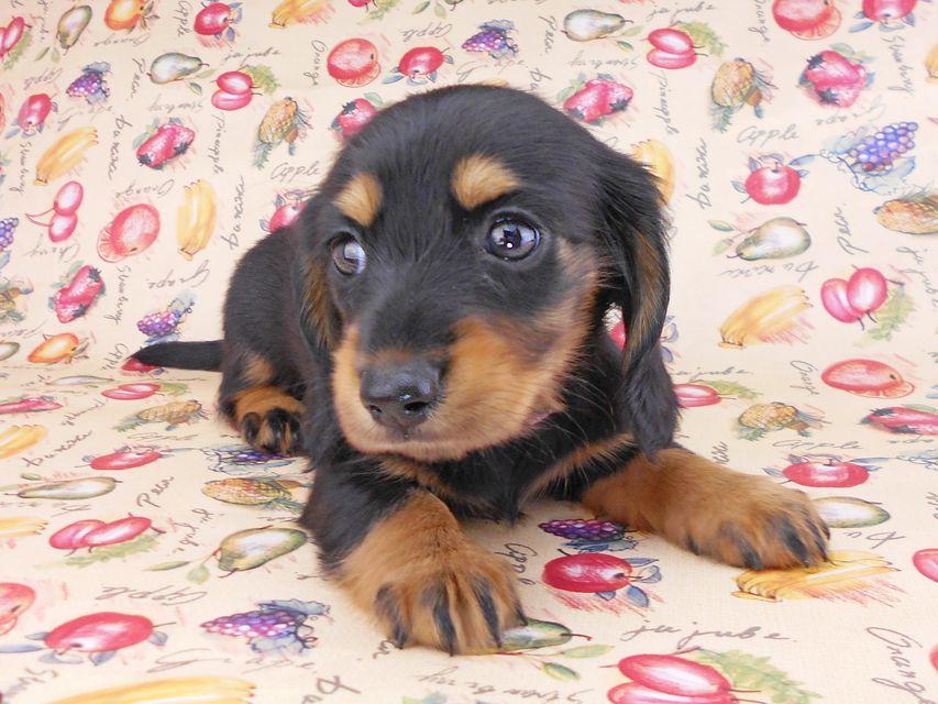 カニンヘンダックスフンド ルースmt & バロンmtの子犬 ブラックタン 女の子(1) お写真初登場