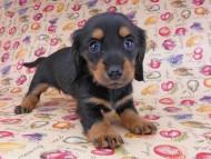 ルースmt & バロンmtの子犬 ブラックタン 女の子(2) お写真初登場