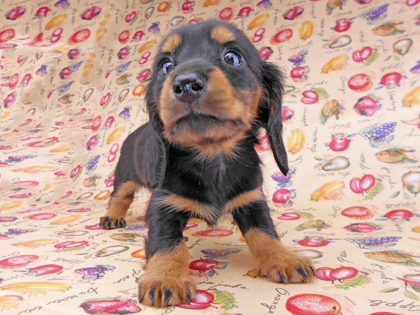 カニンヘンダックスフンド ルースmt & バロンmtの子犬 ブラックタン 女の子(2) お写真初登場