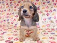 リンmt & ビルズmtの子犬 レディッシュイエロー(シェーデットクリーム) 女の子 お写真初登場