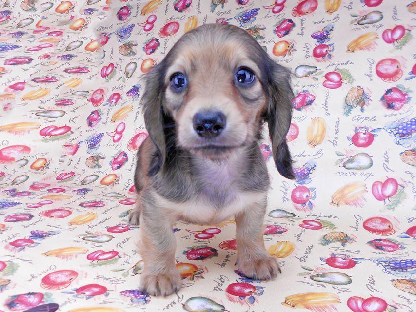 カニンヘンダックスフンド リンmt & ビルズmtの子犬 レディッシュイエロー(シェーデットクリーム) お写真初登場