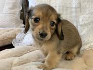 ティナ & 竹千代の子犬 イエロー(クリーム) 男の子