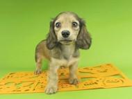リンmt & ビルズmtの子犬 レディッシュイエロー(シェーデットクリーム) 女の子
