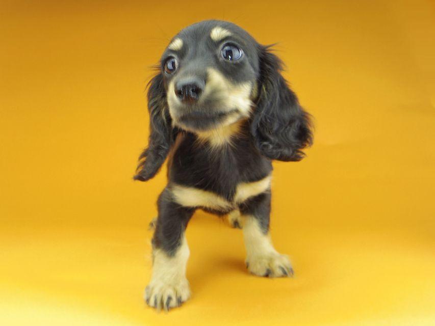 カニンヘンダックスフンド アビスmt & バロンmtの子犬 ブラックイエロー(ブラッククリーム) 女の子