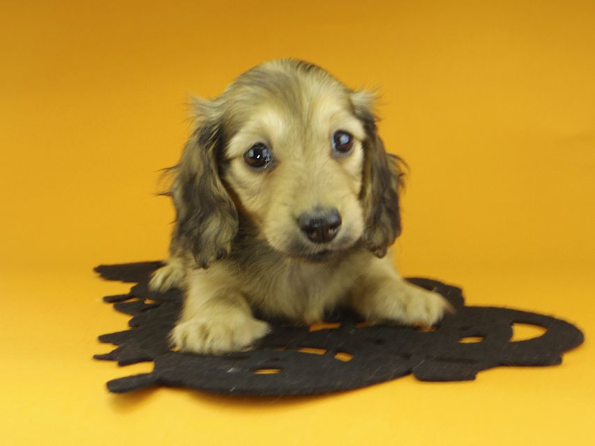 カニンヘンダックスフンド クム & スカッシュの子犬 イエロー 女の子(2)