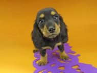 ルースmt & バロンmtの子犬 ブラックタン 女の子(2)
