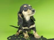 ビーmt & ボンmtの子犬 ブラックイエロー(ブラッククリーム) 女の子