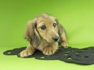 ビーmt & ボンmtの子犬 シェーデットイエロー(シェーデットクリーム) 女の子