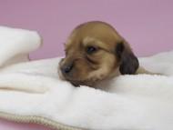 リン & 竹千代の子犬 レッド 男の子