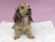 クム & スカッシュの子犬 イエロー 女の子(2)