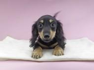 アビスmt & バロンmtの子犬 ブラックイエロー(ブラッククリーム) 女の子