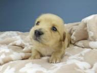 ティナ & 竹千代の子犬 イエロー(クリーム) 女の子 ハイクラス