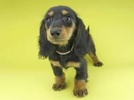 ルースmt & バロンmtの子犬 ブラックタン 女の子(1)