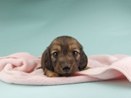 ソフィア & ジムの子犬 レッド 女の子
