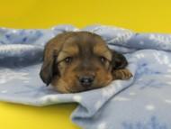 シオンcs & スカッシュの子犬 レッド 男の子