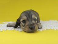 チャーム & スカッシュの子犬 イエロー(クリーム) 男の子