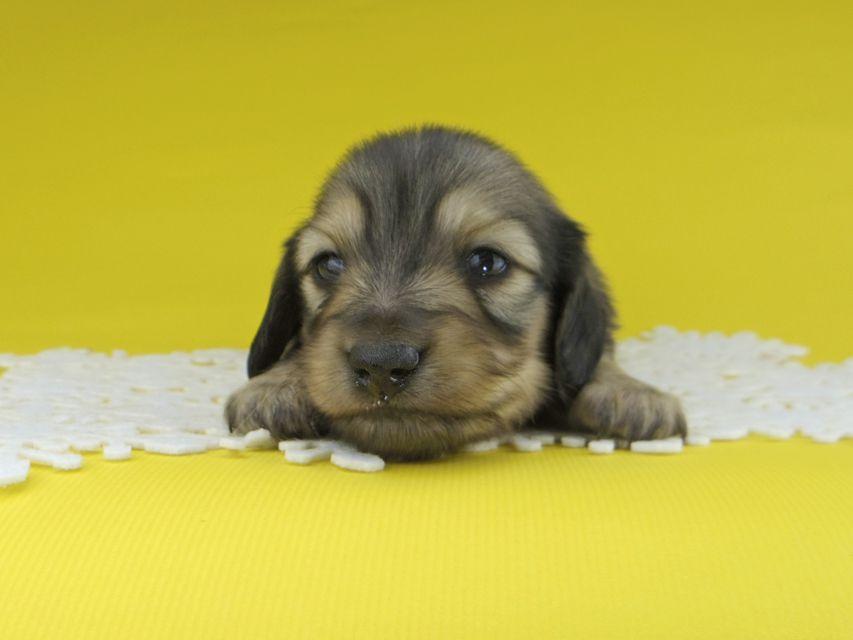 カニンヘンダックスフンド チャーム & スカッシュの子犬 イエロー(クリーム) 男の子