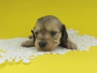 チャーム & スカッシュの子犬 イエロー(クリーム) 女の子