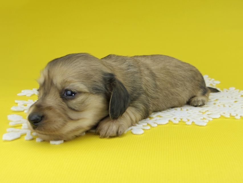 カニンヘンダックスフンド チャーム & スカッシュの子犬 イエロー(クリーム) 女の子
