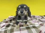 コリン & スカッシュの子犬 ブラックイエロー(ブラッククリーム) 男の子