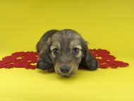ソフィア & ジムの子犬 イエロー(クリーム) 男の子