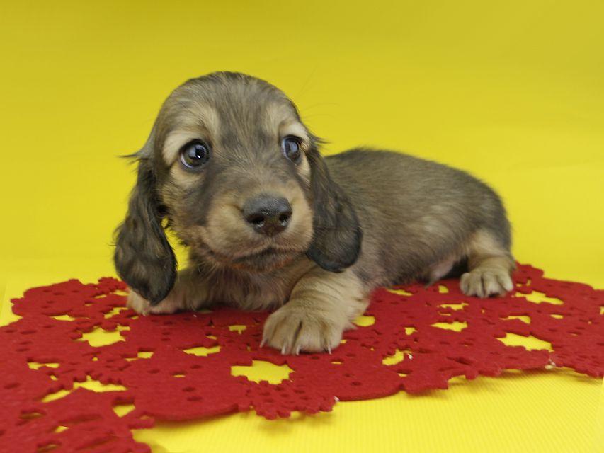カニンヘンダックスフンド ソフィア & ジムの子犬 イエロー(クリーム) 男の子