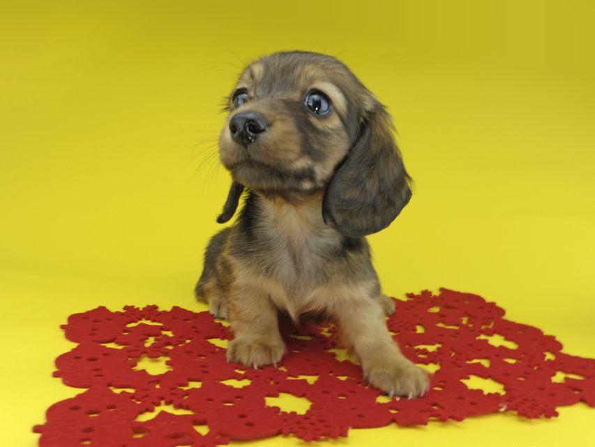 カニンヘンダックスフンド ソフィア & ジムの子犬 レッド 女の子